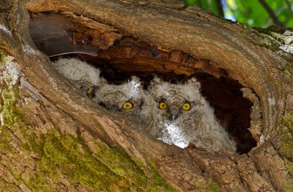 Landskroon-Owls