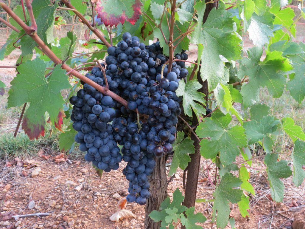大地皇冠庄园里的神索葡萄
